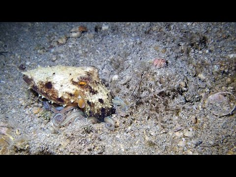 Baby Octopus Vanishes In Sandy Seabed