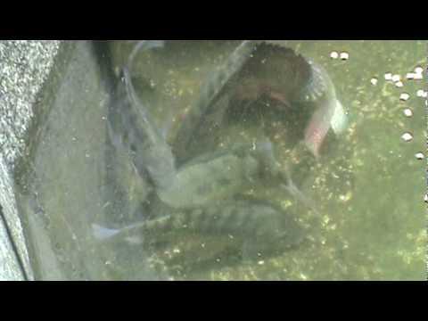 Como criar mojarra tilapia apareamiento y reproduccion for Criar mojarras en casa