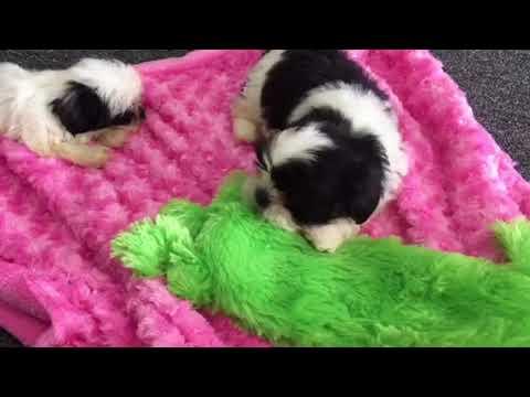 Shih Tzu Puppy For Sale Cookies Creme Houston Texas Youtube