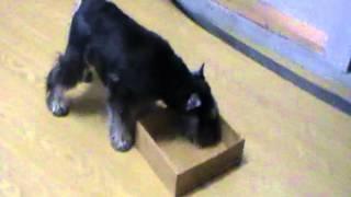 Taser Blind Schnauzer 1st Time Doing A Job Nosework