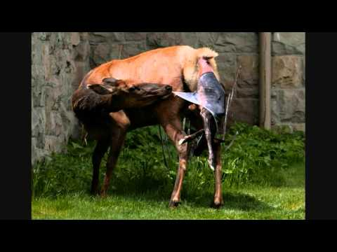 Elk gives birth by ranger station in Yellowstone Park