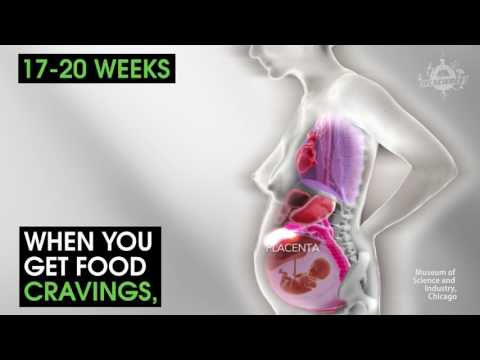 This Horrifying Animation s You How A Womans Organs Move During Pregnancy