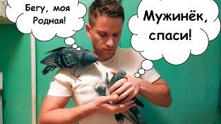 Нормальный голубь не может без своей половинки, а голубь Рокси не может без человека