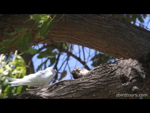 White Tern feeding a chick