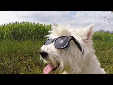 GoPro4 West Highland White Terrier