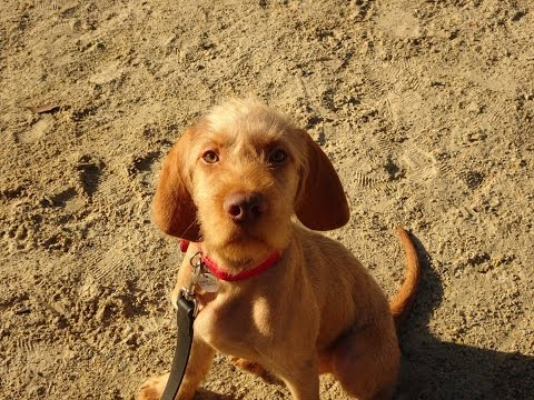 Ziggy - Hungarian Vizsla - 5 Week Residential Dog Training