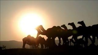 Inde: des milliers de chameaux réunis pour une foire annuelle