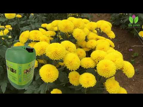 Super Crop Marigold | Dr Soil used Organic