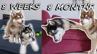 Our Husky Puppies Growing Up | 8 Weeks to 8 Months
