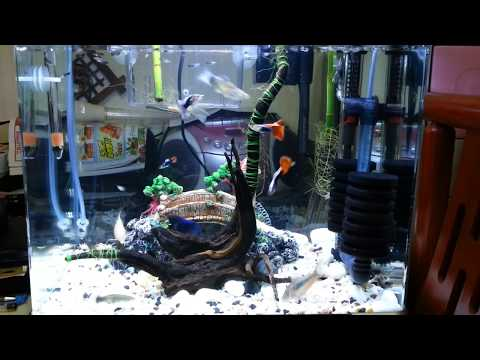 물잡이 잘된 깨끗한 구피(Guppy fish)어항 영상^^