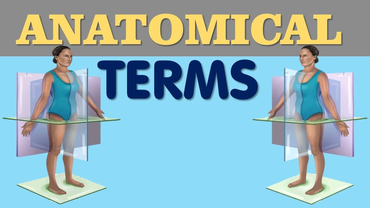 Anatomical Terms - Directional terms , Planes , Regional terms - YouTube
