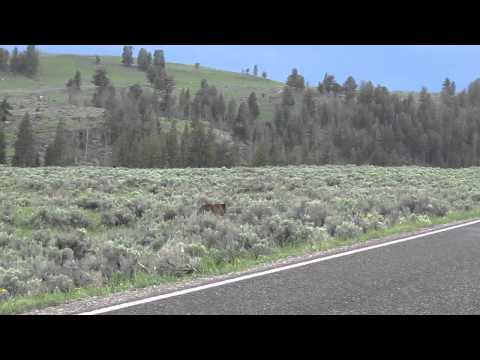 Close encounter of a huge Grizzly Bear at Lamar Valley, Yellowstone National Park, June 2013