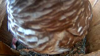 Adult Barred Owl Adds Rodent To A Stocked Pantry – April 24, 2019 thumbnail