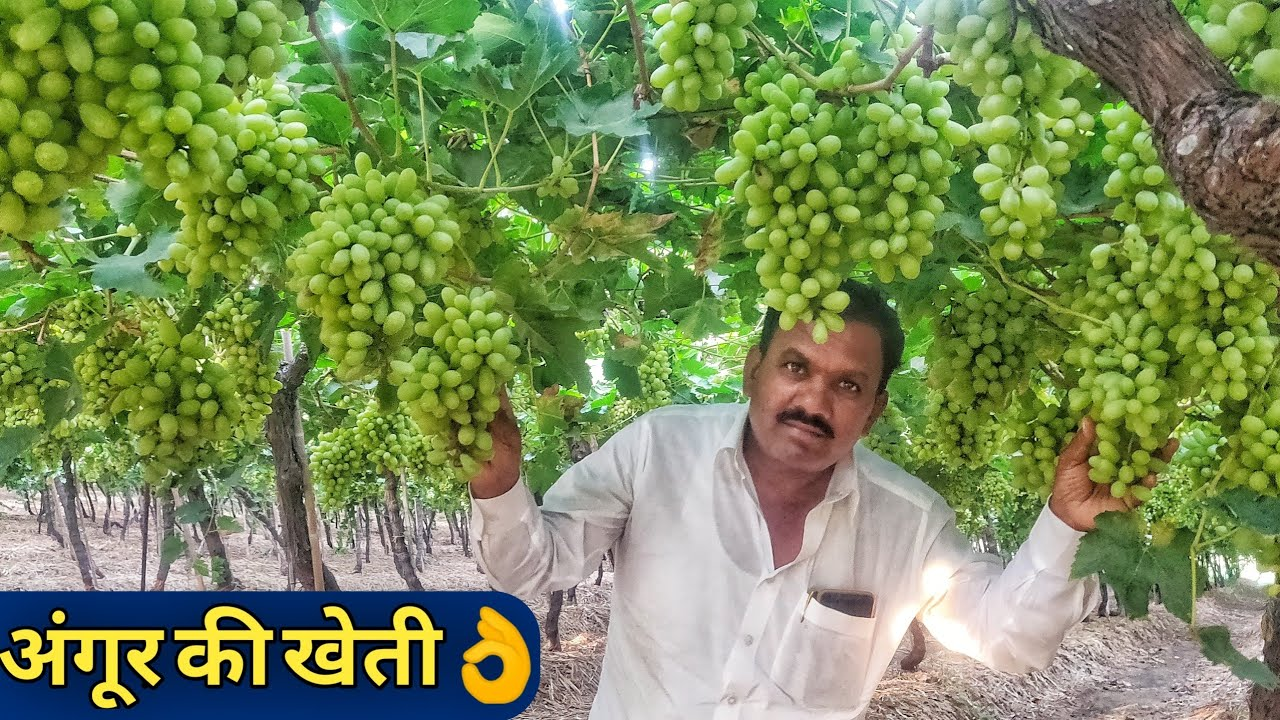 Famous Grapes Farming in Maharashtra India|Angur ki kheti in hindi