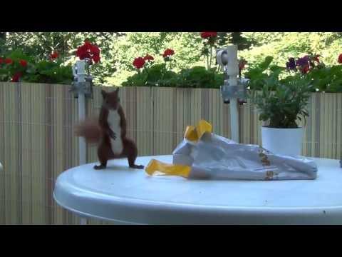 Eichhörnchen stürmen Hamburger Balkon
