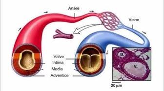La différenciation fonctionnelle des vaisseaux sanguins (Les artères, les veines et les capillaires)