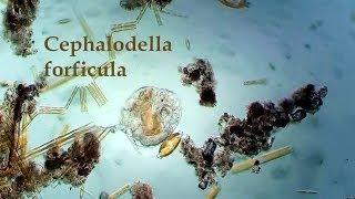 Cephalodella forficula