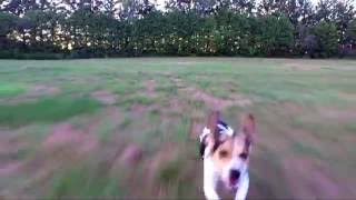 Beagle chases drone