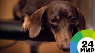 Такса возглавила список самых кусачих пород собак - МИР 24