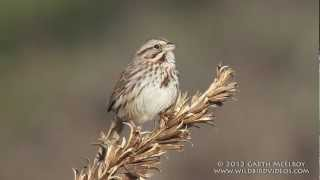Song Sparrow in Maine