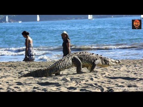 Крокодил на пляже