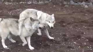 http://hybrid-wolf.jimdo.com/