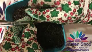 Comment attacher une plante Pachira aquatica (paume)