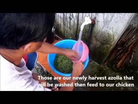 Azolla Washing and Feeding as supplementary feeds to chicken -Tagalog w/ English Subtitle