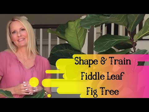 SHAPE and TRAIN your bush FIDDLE leaf FIG tree into a FULL plant PART 5 with MOODY BLOOMS