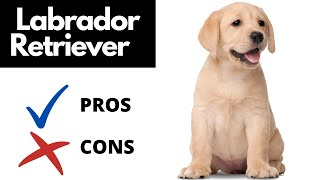 Labrador Retriever Pros And Cons || The Good AND The Bad!!