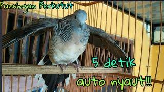 Video Langsung nyahut!! pancingan burung perkutut lokal ampuh download MP3, 3GP, MP4, WEBM, AVI, FLV Agustus 2019