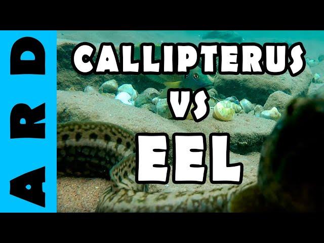 Callipterus and eel - Lake Tanganyika