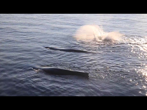 Rare Humpback Whale spotted in Maine- Whalewatch @Bar harbor