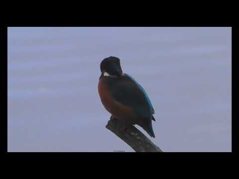 Kingfisher / Alcedines Perched fishing and diving for its catch, North Wales