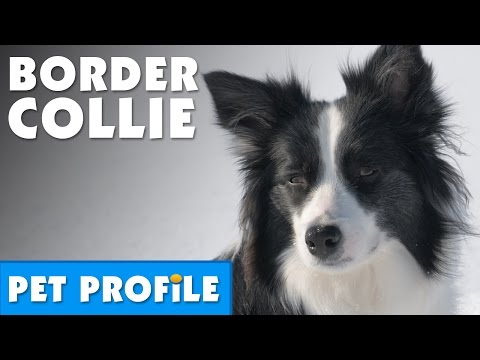 Border Collie Pet Profile | Bondi Vet