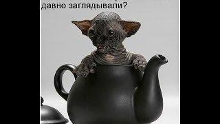СФИНКСЫ - это АДСКИЕ  КОШКИ и по-ЧЕРТОВСКИ смешные / Hellcat - sfinsky and it is damn funny