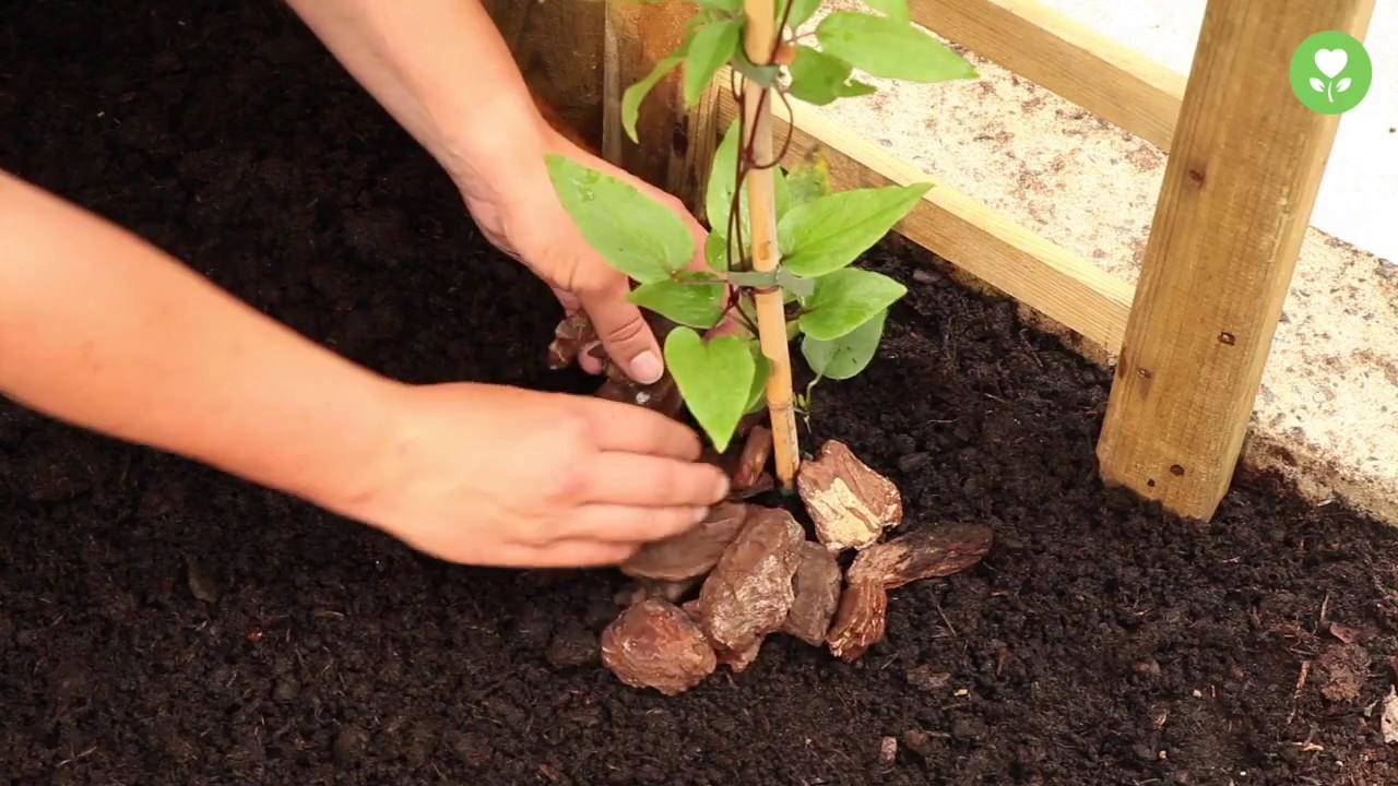 Bluhende Kletterpflanzen Pflanzen Und Pflegen Youtube