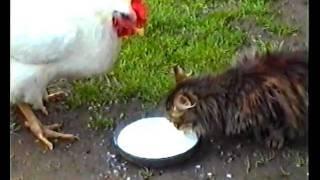 Кошка и курица пьют молоко (Cat and chicken drink milk)