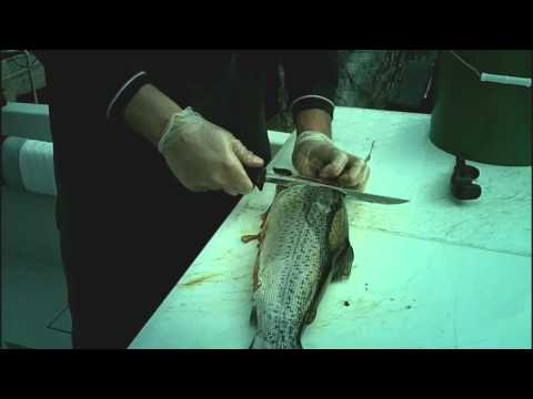 How to Filet Spring Brown Trout (Part 1)