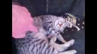 Армянская прикольная кошка