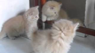Persian Kitten For Sale - 2 Months, Dlh To Let Go From Ser..