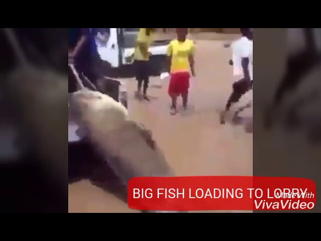 BIG FISH LOADING INTO SMALL LORRY