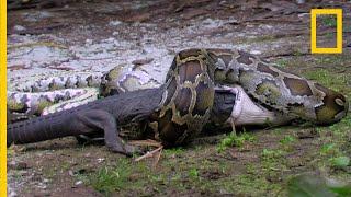 뱀이 악어를 잡아먹는다?