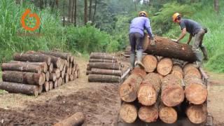 Download Video Toko Perhutani: Pengenalan Berbagai Jenis Mutu Kayu Rimba Pinus dan Mahoni MP3 3GP MP4