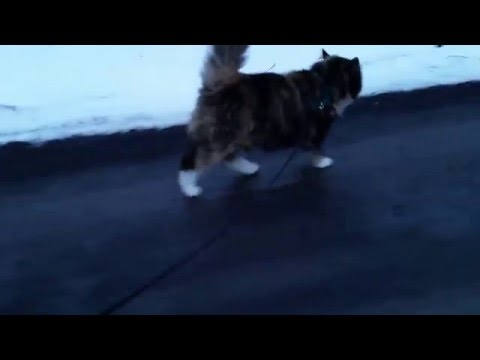 Elise the cat on a leash!
