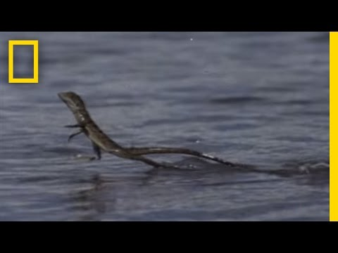 Jesus Christ Lizard | National Geographic