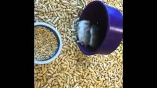 Hamsterr fight