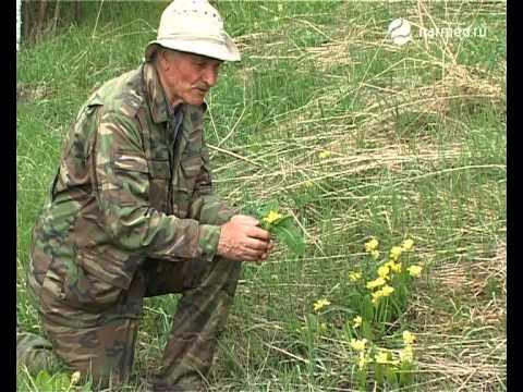 Первоцвет крупночашечный (Primula macrocalyx) - Растения и