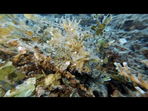 Weedy Scorpion Fish Lurking In The Sea Weed