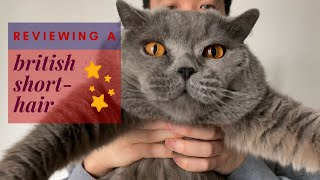 Reviewing a British Shorthair Cat